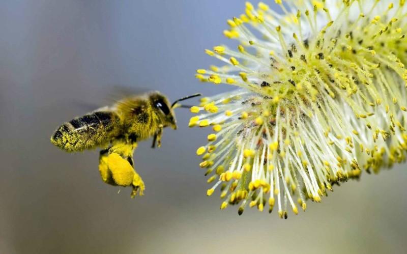 пчелы собирает мёд